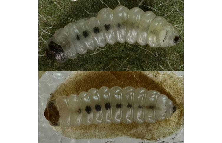 A. petryi and A. treitschkiella caterpillars