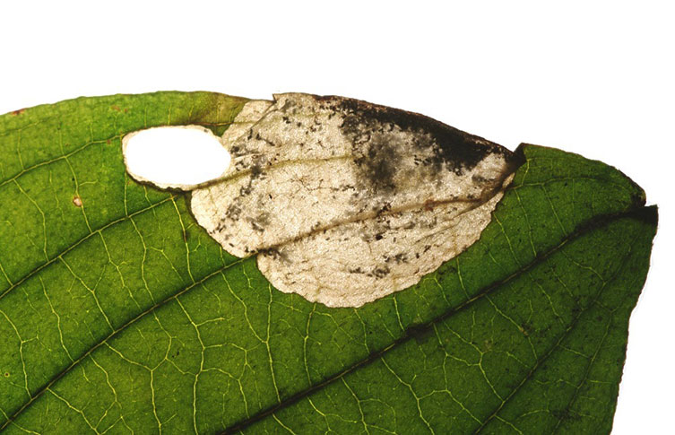 A Cornelian cherry tree (Cornus mas) leaf with damage from leaf mining caterpillars