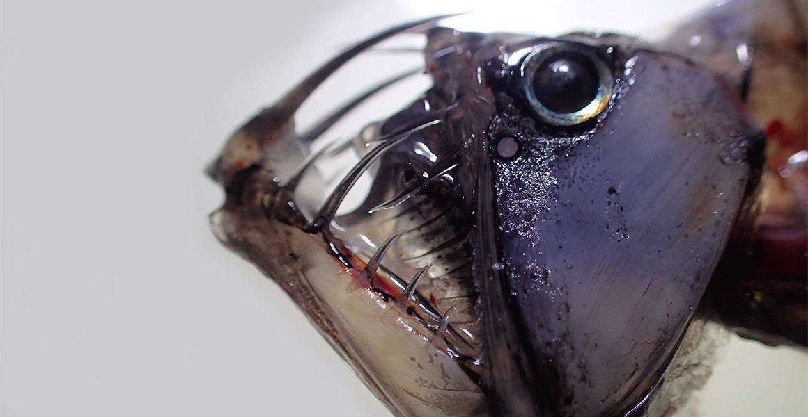 A close-up view of one of a viper fish that was collected during a trip to St Helena.