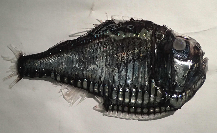 A black anglerfish lying on its side in a white drawer.