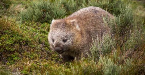 Wombat on grass