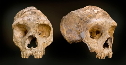 The adult female Neanderthal cranium discovered at Forbes Quarry, Gibraltar.