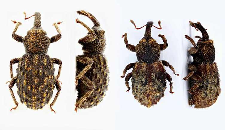 New species of beetle named after Museum staff