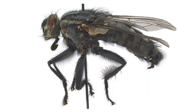 New species of giant Turkish flesh fly