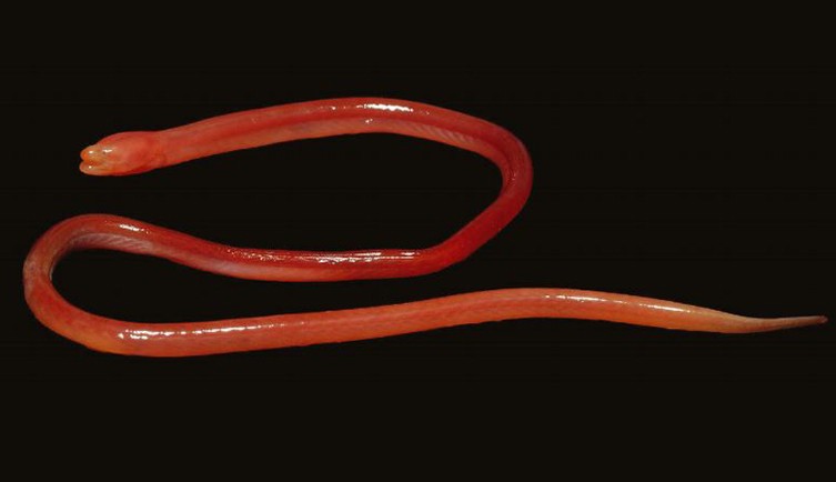 This new species of blind fish eel lives in the soil