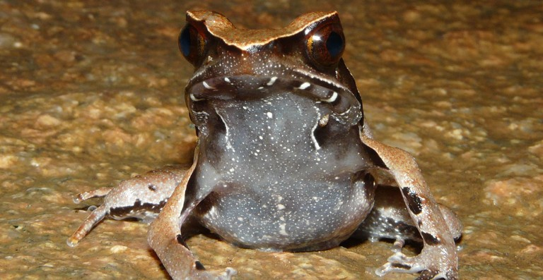 four new species of frog from one of the wettest regions on earth