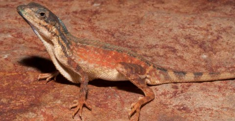 new species of fan-throated lizard on a rock
