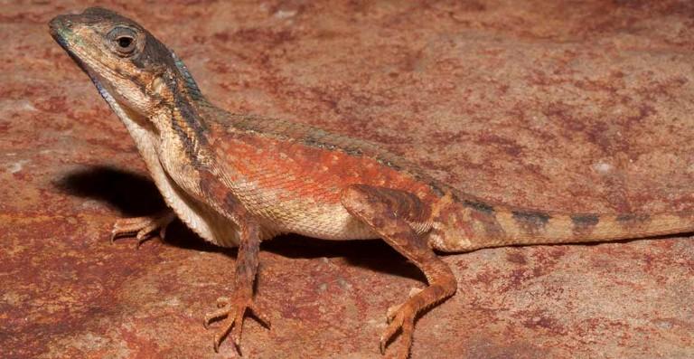Two new species of Indian lizard described by Museum scientist