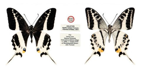The type specimen for the new species of butterfly