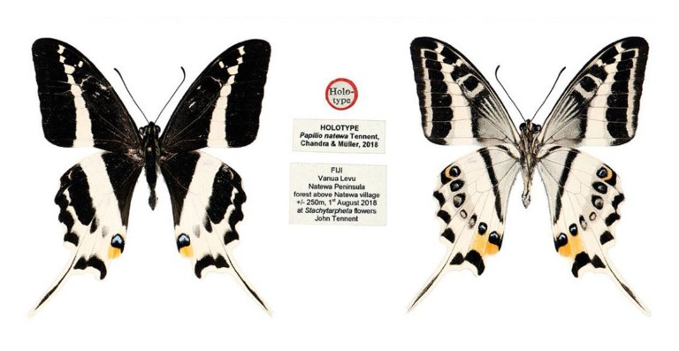 Beautiful new species of swallowtail butterfly discovered on Fiji