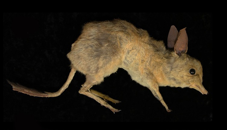 New species of extinct pig-footed bandicoot described from