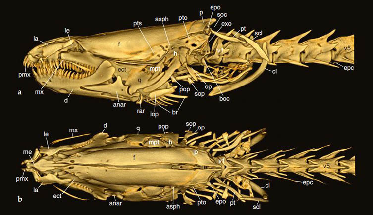 CT scan of blind swamp eel's skull