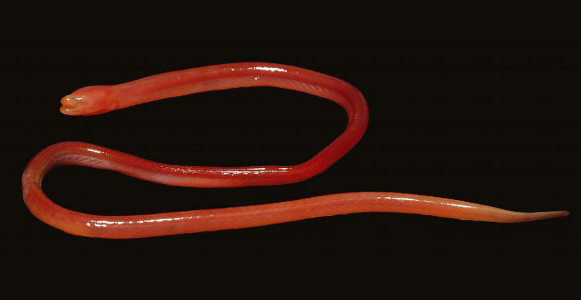 The long pink blind swamp eel