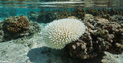 Bleached coral
