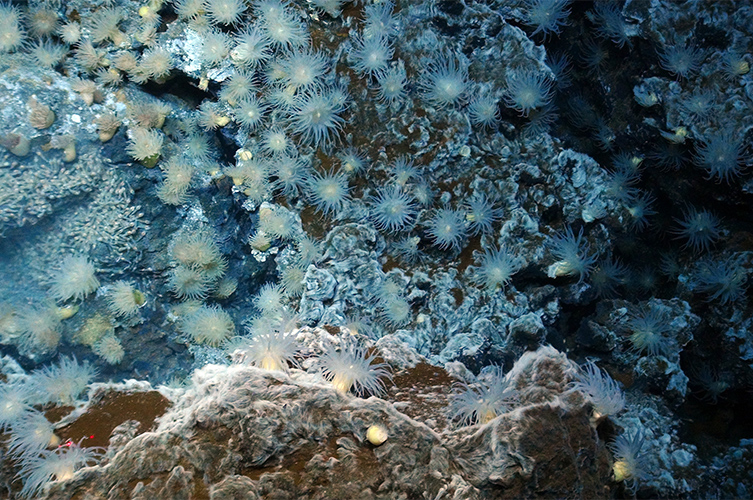 Anemones in a hydrothermal vent in the Cayman Trough