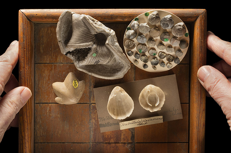 A selection of brachiopods