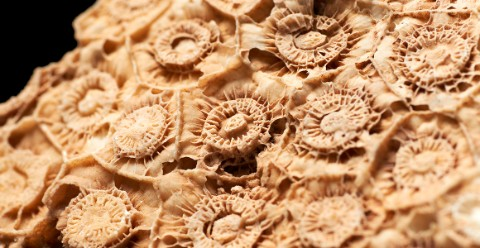 Coral fossils dating back to the Paleozoic Era