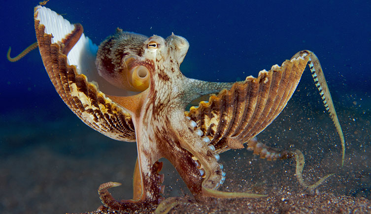 Veined octopus carrying shells