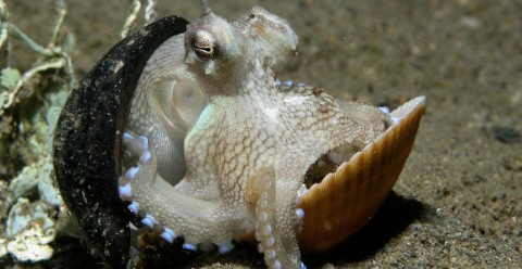 Veined octopus resting between coconut and sea shells