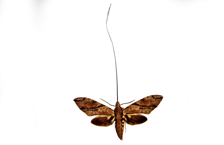 Morgan's sphinx moth