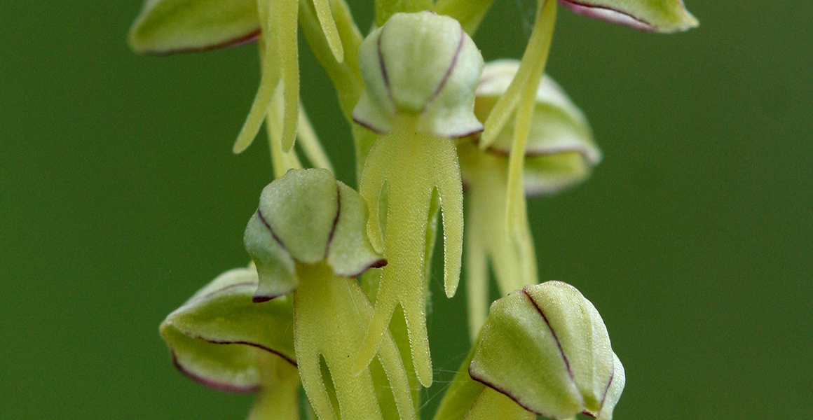 Close-up of a man orchid flower