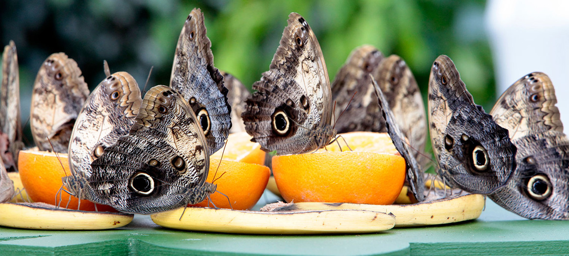 Owl butterflies feeding on fruit