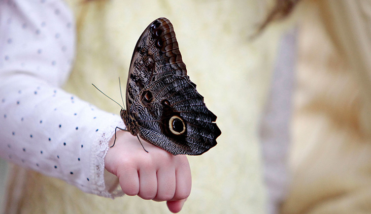 An owl butterfly perches on a visitor's hand