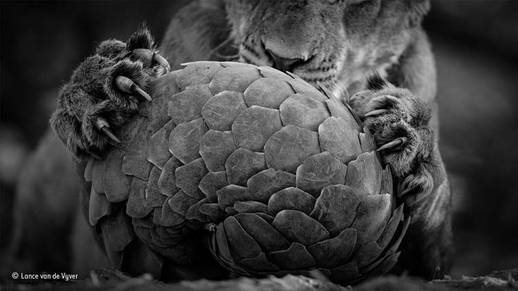 Playing pangolin © Lance van de Vyver