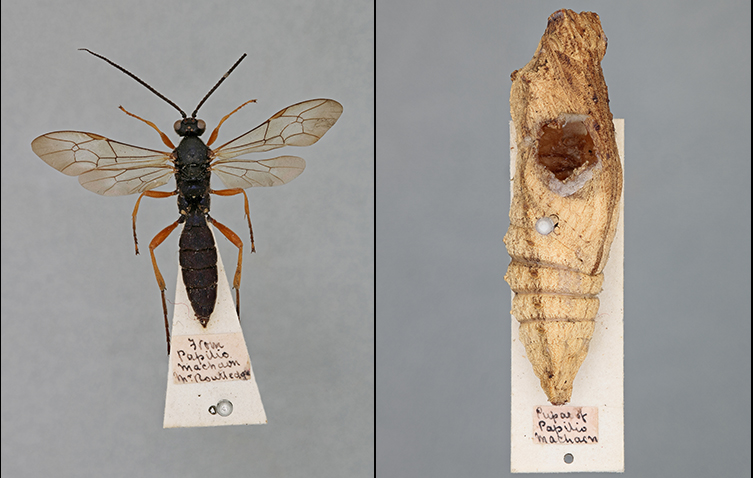 A wasp specimen from the Museum collection