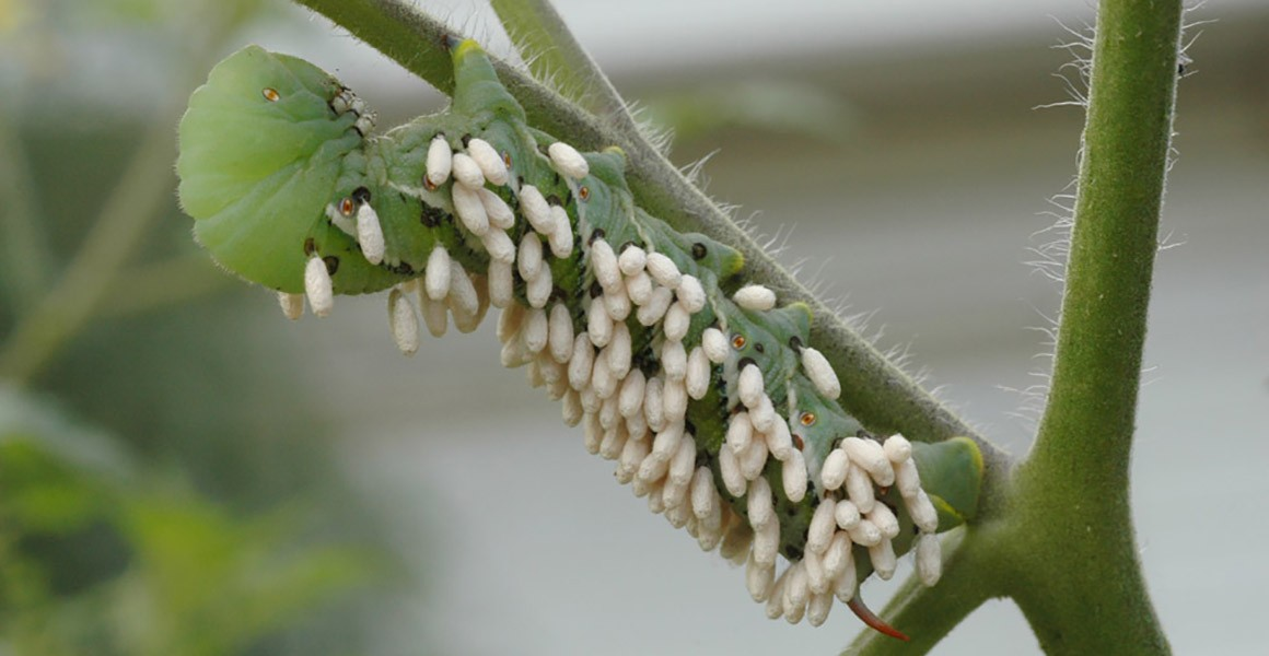 A caterpillar and wasp larvae