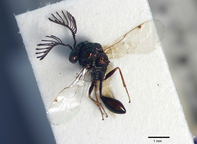 Magnified image of iridescent black Chalcura volusus specimen with feathery antenna