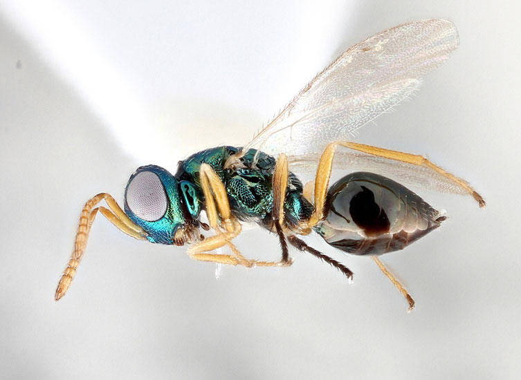 Magnified image of metallic green Cyrtogaster vulgaris specimen with a shiny brown abdomen and pale legs
