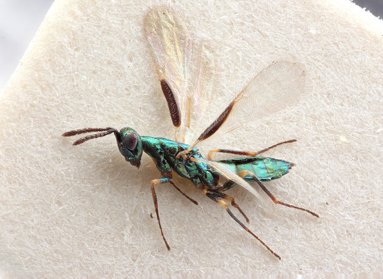 Magnified image of metallic green Platynocheilus cuprifrons specimen