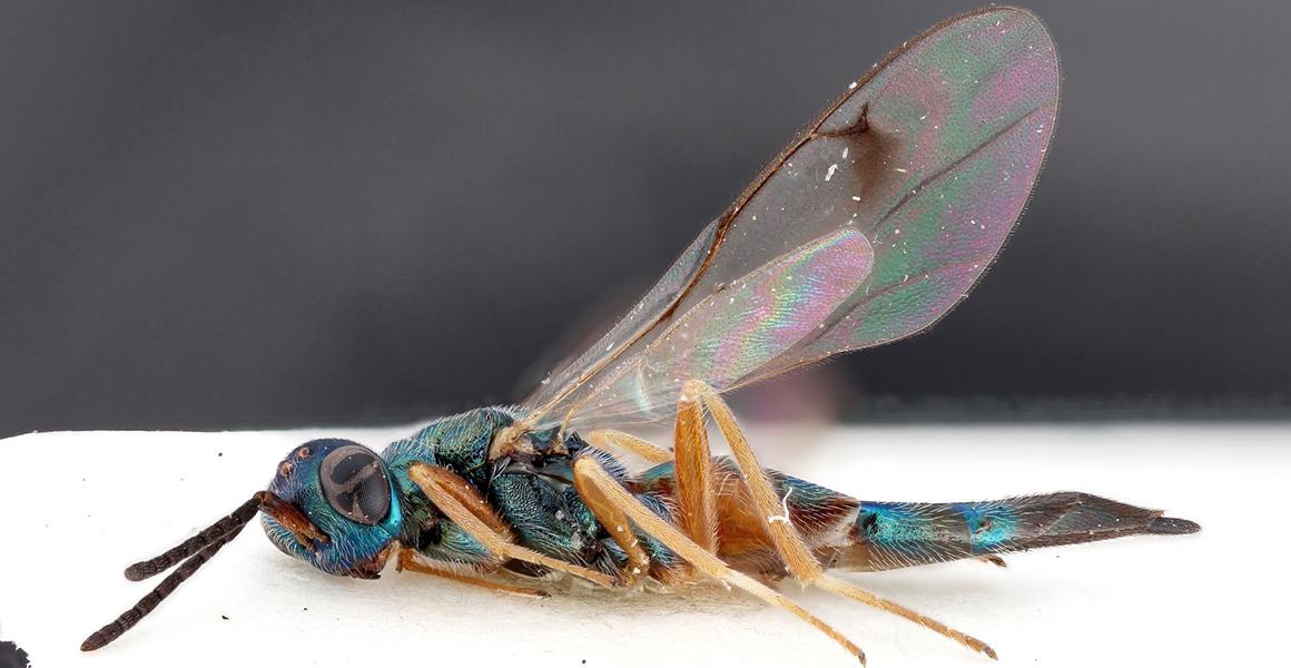 Magnifed image of the parasitoid wasp Trigonoderus filatus