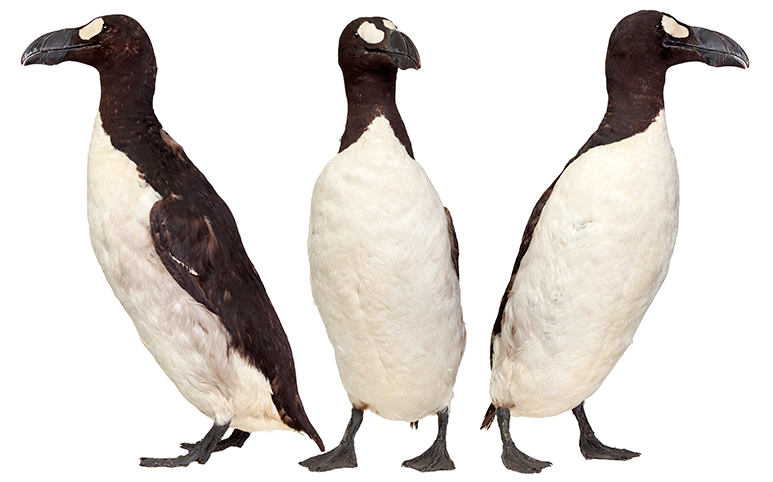 Side and front views of a rare great auk specimen cared for by the Museum