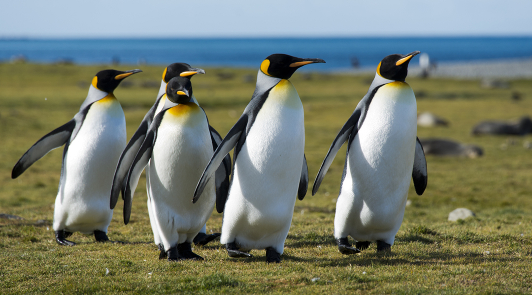 king-penguins-shutterstock-1080x600
