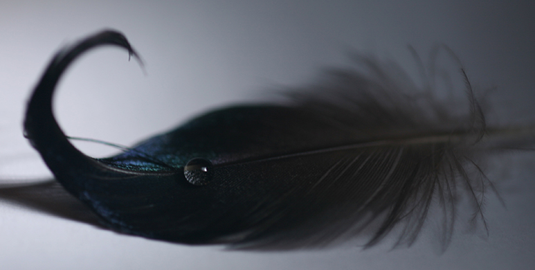 Mallard duck's tail feather with a drop of water on it