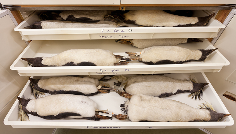 Penguin specimens cared for in the Museum's bird collection