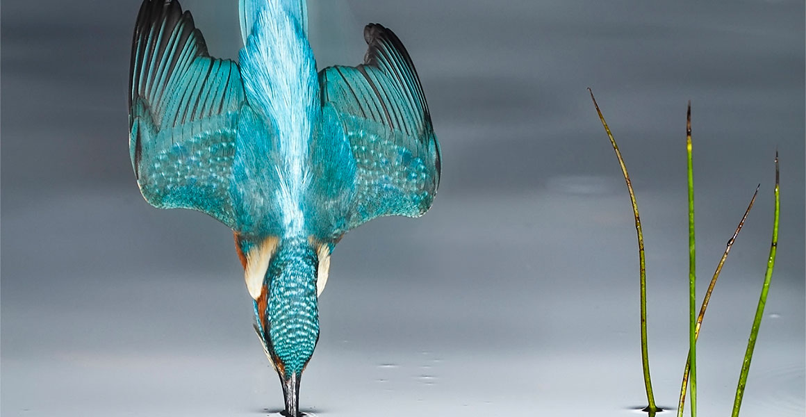 A diving kingfisher by Mario Cea