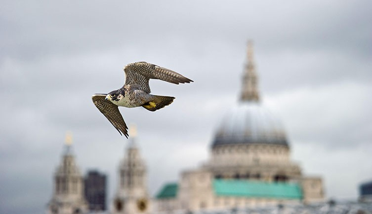 A peregrine falcon in flight with St Paul's Cathedral in the background