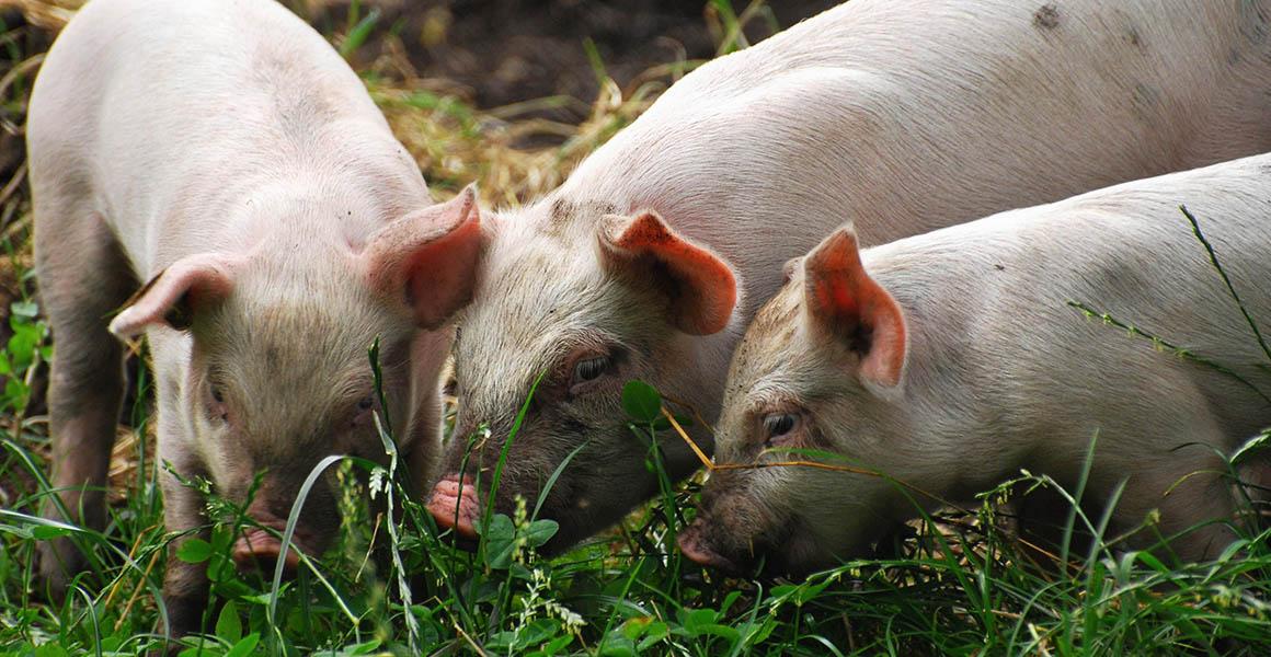 Understanding the origins of European domestic pigs