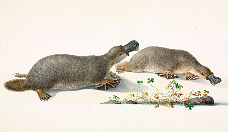 A watercolour illustration of two platypuses