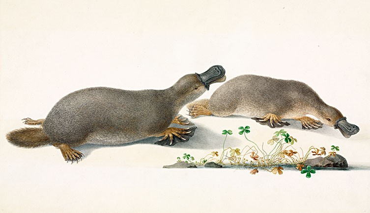 The platypus puzzle | Natural History Museum