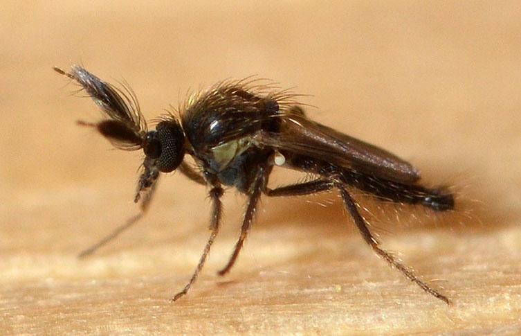 Ένα στέλεχος Forcipomyia