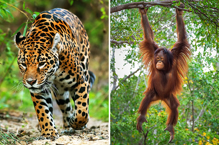 A jaguar and an orangutan