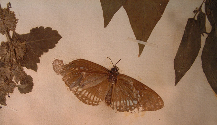 A common crow butterfly (Euploea core) in the collection of botanist and doctor Paul Hermann