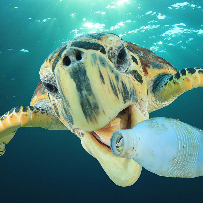 A sea turtle with its mouth open, about to bite a plastic bottle floating in the ocean