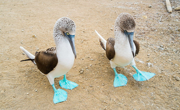 Blue-footed boobies use their striking feet in mating rituals