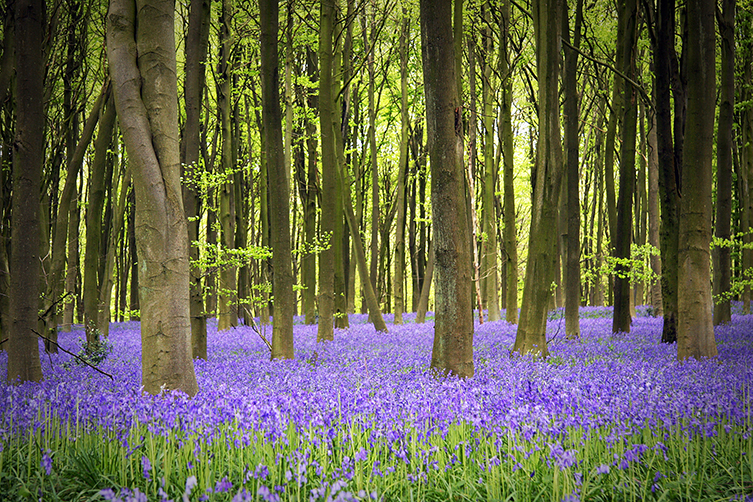 Bluebells carpet British woodlands in spring