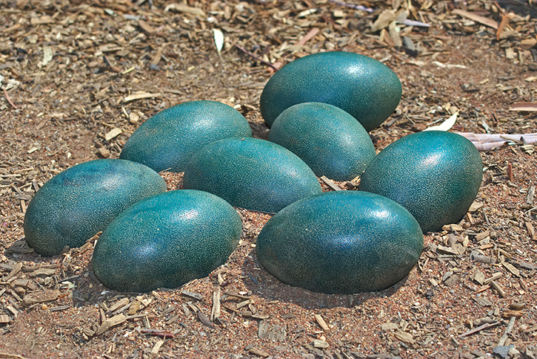 Blue-green emu eggs
